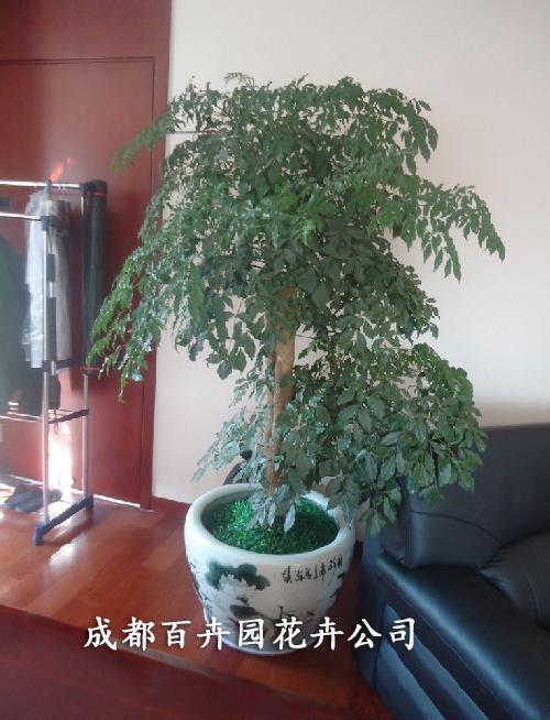 成都植物租赁公司介绍幸福树(菜豆树)在室内的养殖方法和注意事项