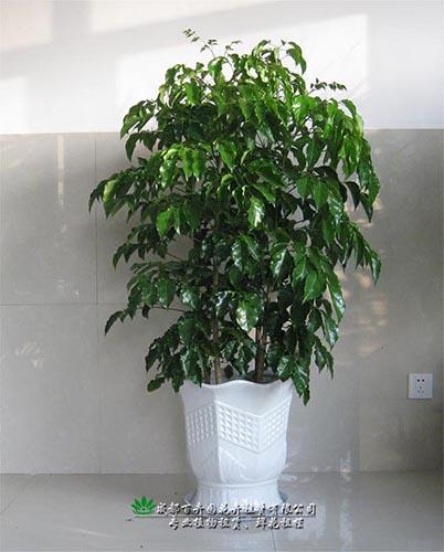 成都植物出租(绿宝)-成都植物租赁
