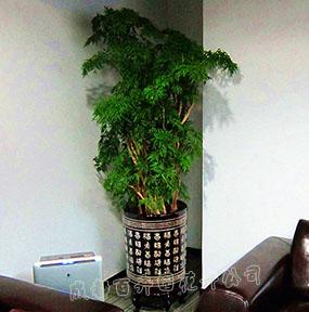 成都植物出租(福禄桐)