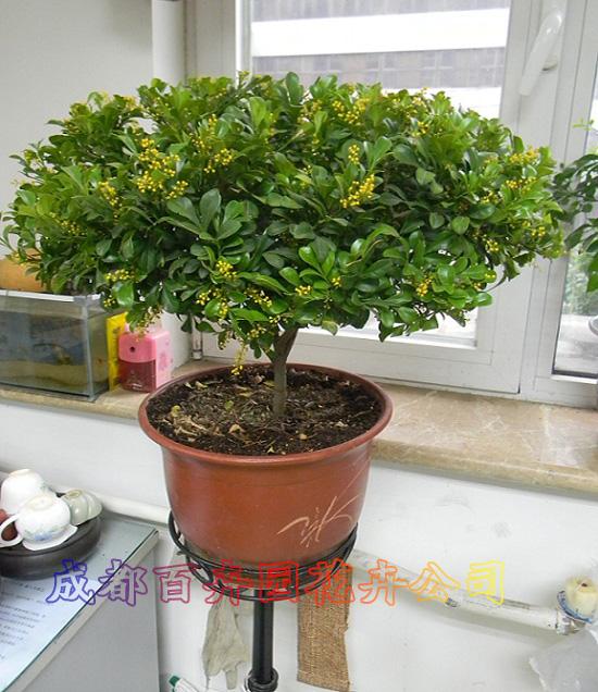 成都花卉租赁(米兰)-成都盆栽植物租赁公司_办公室__.