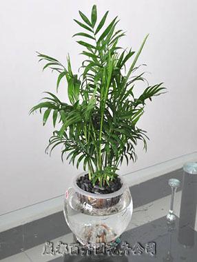 植物租赁(袖珍椰子)