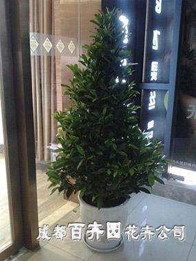 成都植物租赁(塔形非洲茉莉)