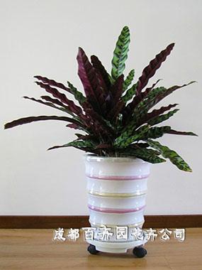 植物租赁(猫眼竹芋)