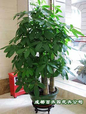 花卉租赁公司(发财树)