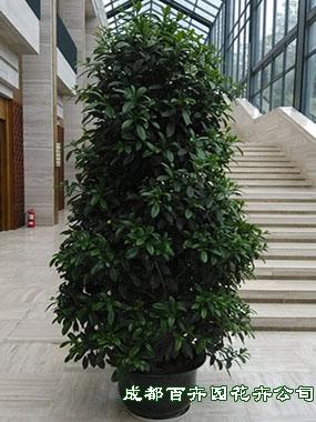 植物租赁公司(非洲茉莉)