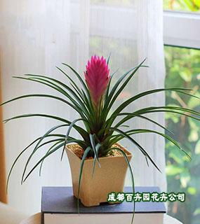 成都花卉租赁(铁兰)