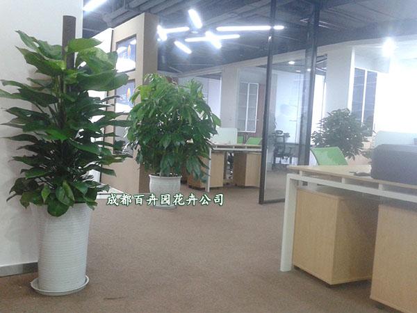 成都盆栽植物租赁(某公司办公室植物租摆案例)