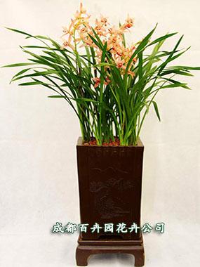 成都盆栽花卉(兰花)