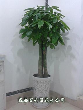 发财树适宜摆放于会议厅,办公室,客厅,店铺,是乔迁,开业,赠送朋友的