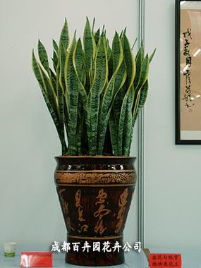 成都盆栽租赁(虎皮兰)-成都盆栽植物租赁公司_办公室