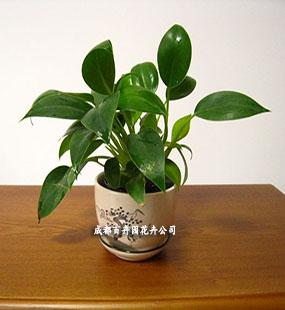 成都植物租赁(金钻)