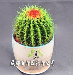 租赁植物(彩色仙人球)