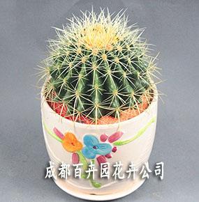 成都植物租摆(仙人球)