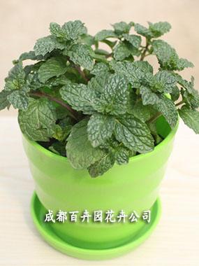 植物出租(留兰香)