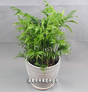 成都租植物(袖珍椰子)
