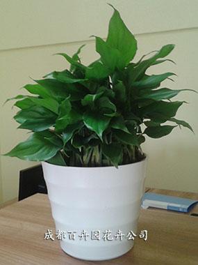 成都租植物(万年青)