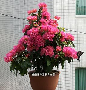 成都花卉租摆(三角梅)