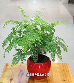 成都植物租摆(铁线蕨)
