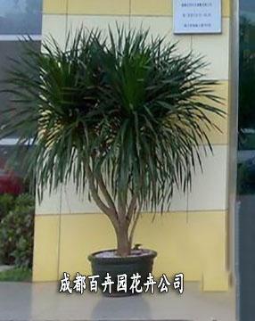 成都植物租赁(龙须树)