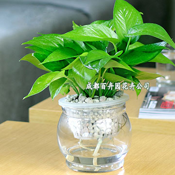 成都花卉租赁(吊绿萝)