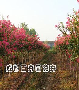 成都绿化植物销售(紫薇树)