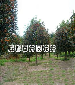 成都园林绿化植物(桂花)