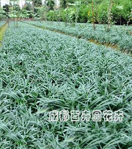 成都园林绿化苗木(麦冬)