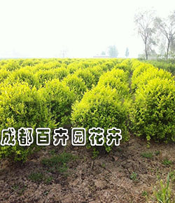 成都园林绿化苗木(金叶女贞球)