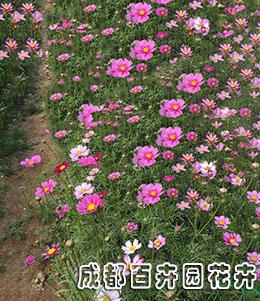 成都绿化花卉销售(波斯菊)