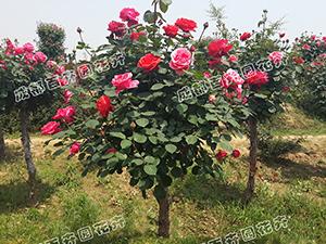 成都绿化花卉销售(月季花)