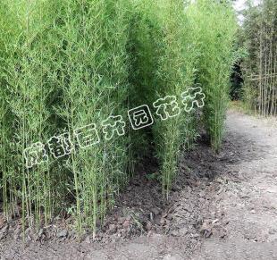 成都花园绿化植物销售(人面竹)