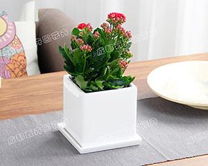 成都花卉租赁(长寿花)