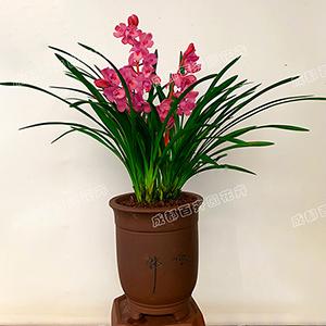 成都植物租赁(建兰花)