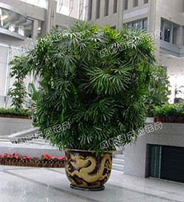 成都植物租摆(金山棕)
