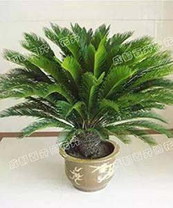 成都植物出租(铁树)