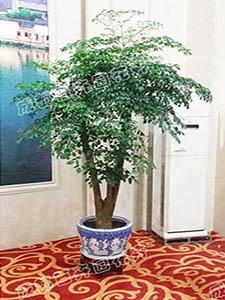 成都植物租赁(幸福树)