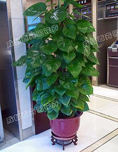 成都租植物(绿萝)