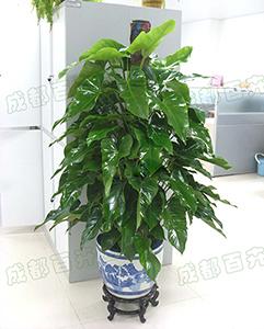 成都植物租赁(绿宝石)