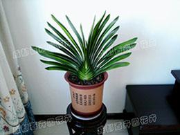 成都租赁植物(君子兰)