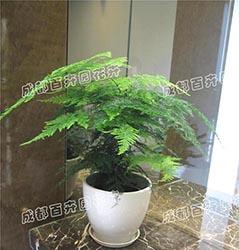 成都植物租赁(文竹)