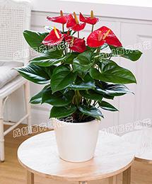 成都花卉租赁(红掌)