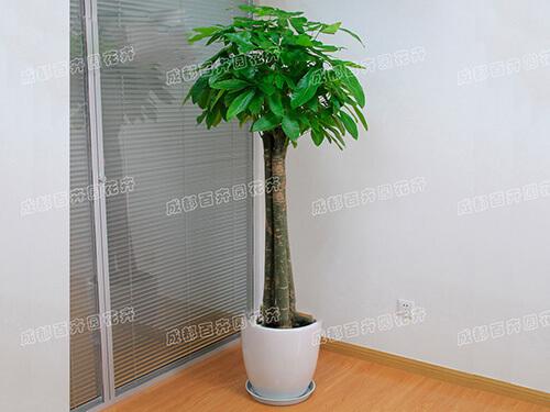 成都植物租摆(组合发财树)