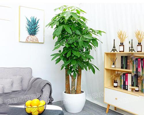 成都植物租赁(步步高发财树)