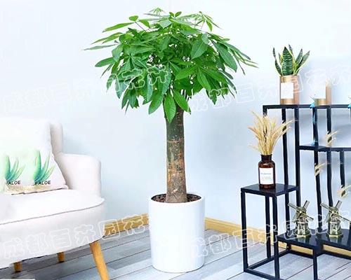 成都租植物(单株发财树)