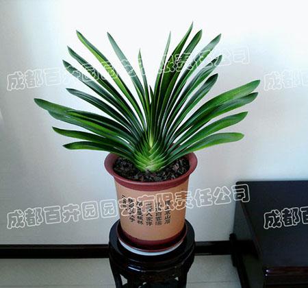 成都租赁盆景植物(君子兰)