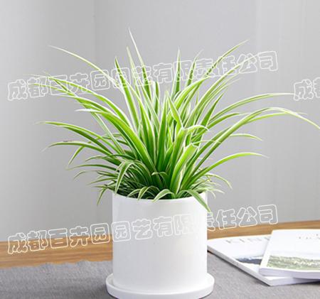 成都租植物(吊兰)