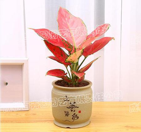 成都办公室租植物(吉利红)